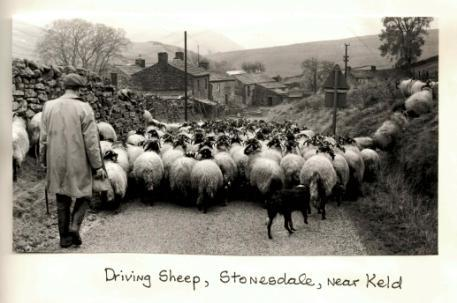 A herd of sheep walking down a country lane in Stonesdale, near Keld